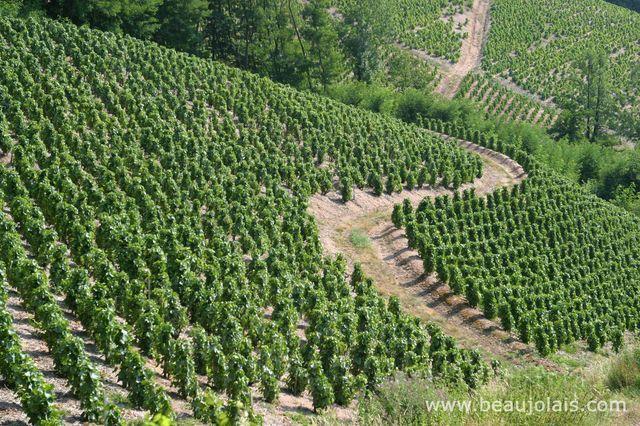côteaux de vignes à Chirouble dans le Beaujolais